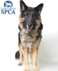 adopt a belgian sheepdog titan is a 5 year old male black and tan belgian malinois