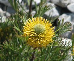 australian native plants guide isopogon anemonifolius wikipedia