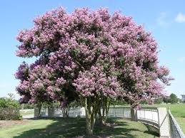 largest crape myrtle money can buy howe home to buy