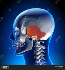 Image Of Brain Anatomy Brain Anatomy Temporal Bone Stock Photo U0026 Stock Images Bigstock