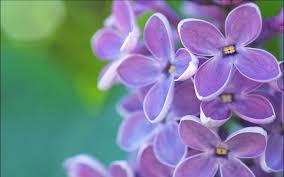 lilac flowers lilac flowers wallpaper hd hd desktop background