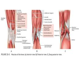 Knees Anatomy Dr Anurag Applied Anatomy Of Knee
