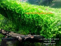 new exciting moss species mini weeping moss aka java spring moss
