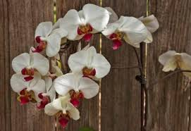 tatroe the orchid for people who can u0027t grow orchids u2013 the denver post