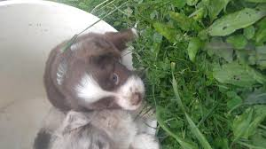 miniature australian shepherd 8 weeks reg asdr miniature australian shepherd puppies in hoobly classifieds