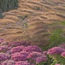 ornamental grass pennisetum alopecuroides white flower farm