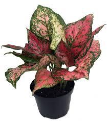 aglaonema anyamanee chinese evergreen plant aglaonema grows in dim light