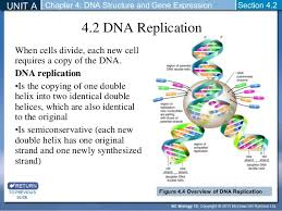 Dna Structure And Replication Worksheet Key Dna Structure And Replication Section 4 1 And 4 2