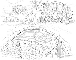 free turtle coloring pages