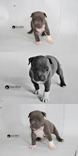 american pitbull terrier 4 weeks pitbull puppies u2013 jesika guthrie barden photography blog
