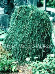 climbing tree spruce seeds tropical ornamental plants bonsai seeds