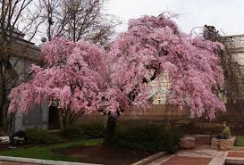 washington d c s cherry trees are at planning for the