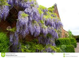 climbing wisteria stock photo image 42878240