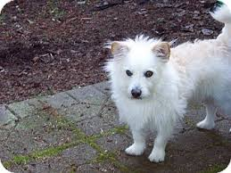american eskimo dog rescue michigan jack adopted dog gig harbor wa cairn terrier american