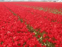 tiptoe through the tulip fields karilogue
