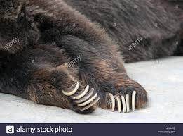 grizzly claws paws and claws of grizzly ursus arctos horribilis