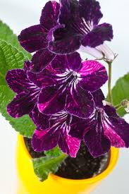 easy flowers to grow indoors add some color 5 cheery easy to grow indoor flowering plants