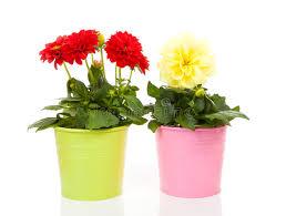 dalia in vaso fiori e gialli della dalia in vaso immagine stock immagine