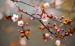 the branch of a cherry tree