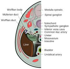 Hymen Female Anatomy Mesovarium Wikipedia