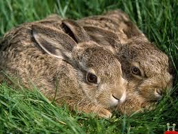 the story of rabbits u2026 and the fibonacci sequence ann mccallum books