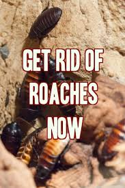 How To Get Rid Of Roaches In The Bathroom 15 Best Ways To Get Rid Of Cockroaches Roaches