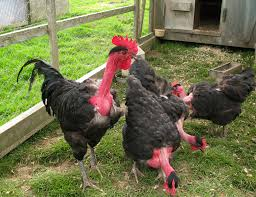 why transylvanian chickens have necks