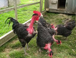 Backyard Chickens Magazine by Why Transylvanian Chickens Have Naked Necks