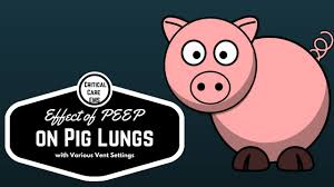 effect of peep u0026 various vent settings on pig lung youtube