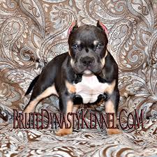 american pit bull terrier registry xl tri color bully pitbulls u0026 puppies pocket tri color bully
