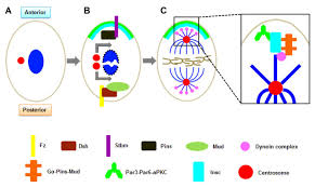 oriented cell division new roles in guiding skin wound repair and