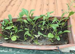 7 veggies you can grow on the balcony u2026 in malaysia cilisos