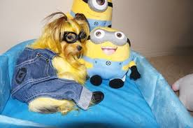 Halloween Costumes Yorkies Halloween Pet Costumes 2013 Petful