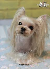 haircuts for yorkies with thin hair 50 damn cute yorkie haircuts for your puppy hairstylec