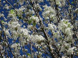 cleveland pear tree plants