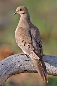 Louisiana birds images Mourning dove louisiana department of wildlife and fisheries jpg