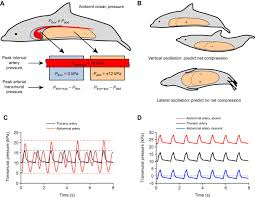 controlling thoracic pressures in cetaceans during a breath hold