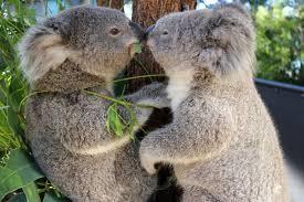 koalas are the sweetest album on imgur