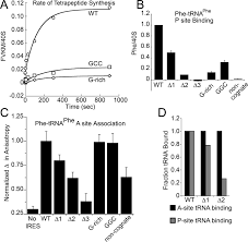 a dynamic rna loop in an ires affects multiple steps of elongation