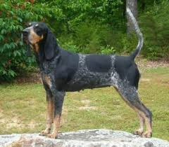 videos of bluetick coonhounds bluetick coonhound