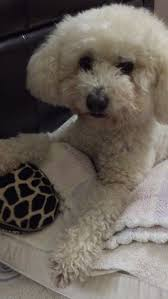 poodle x bichon frise 20 best poochon toy poodle u0026 bichon mix images on pinterest