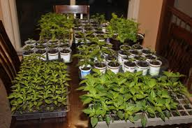 Cheap Flower Seeds - how to easily start garden and flower seeds indoors on the cheap