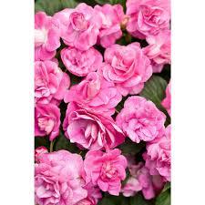 fuchsia annuals garden plants u0026 flowers the home depot