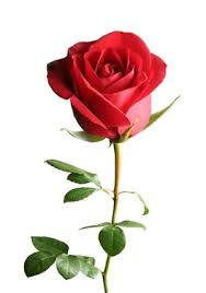 Meaning Of Pink Roses Flowers - best 25 red roses ideas on pinterest red roses and buy flowers
