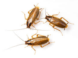 light brown roach looking bug how to get rid of roaches for good fast naturally