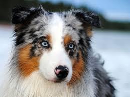 australian shepherd 2015 nationals the australian shepherd dog a true western hero canineplanet net