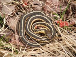 the 17 snakes you might meet in michigan mlive com