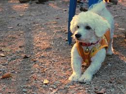 bichon frise training bichon frise housebreaking tips and other training tips