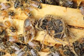 do mice eat bees honey bee suite