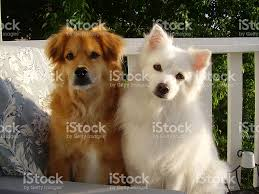 american eskimo dog brown terriergolden retriever mix and american eskimo dogs stock photo